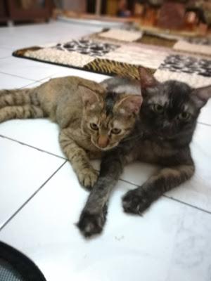 kakak dan adik,kucing comel,ubat kutu kucing