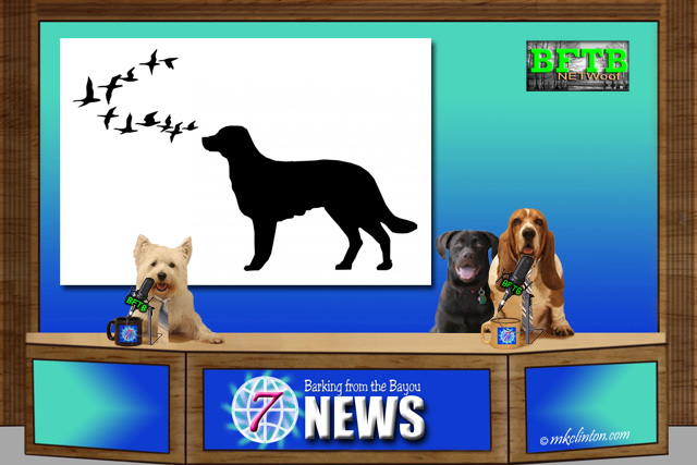 BFTB NETWOOF News with dog silhouette on green screen. Basset, Westie and Lab reporters are at their desk