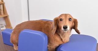 condicionamento pós cirurgia em cães