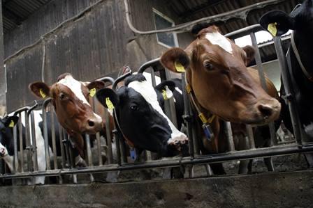 cows 552947 1280 Manfaat chlorella sebagai aditif untuk pakan unggas