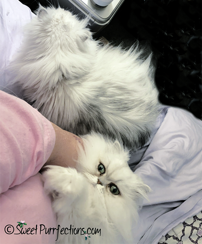 silver shaded Persian cats - one resting on lap and one beside person