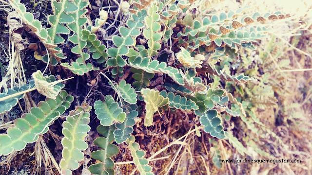 Hierba dorada (Ceterach officinarum)