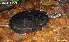 endangered river turtles
