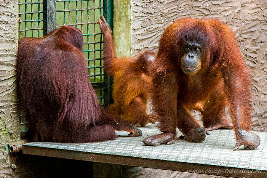 Орангутаны в Lok Kawi Wildlife Park