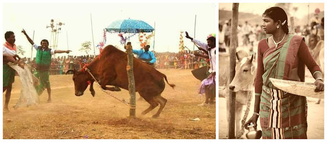 Khuntaw(Bull fight) left, Santhal woman after worshipping cows(Right).