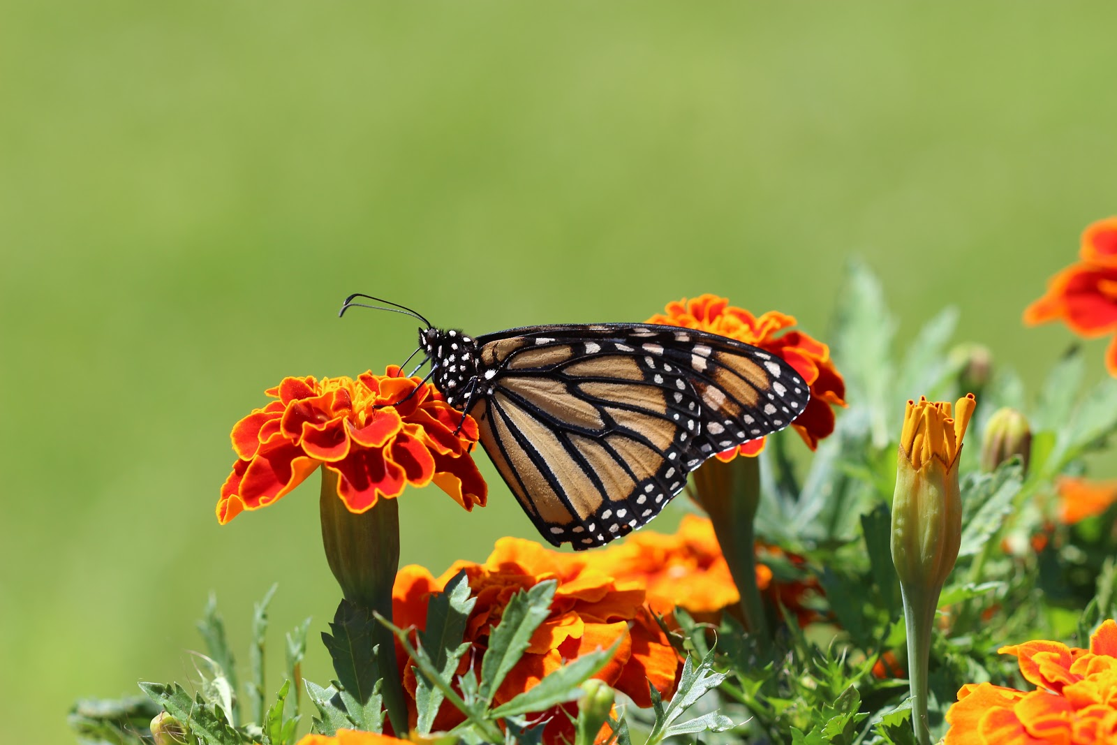 selective-focus-photography-of-monarch-butterfly-perched-on-images