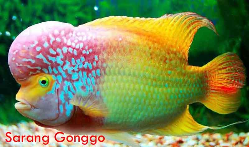 8 Macam Pakan Terbaik Untuk Ikan Louhan Sarang Gonggo