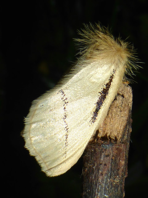 Phiala sp. female Malawi