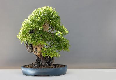 bonsai-alberi in miniatura-acero