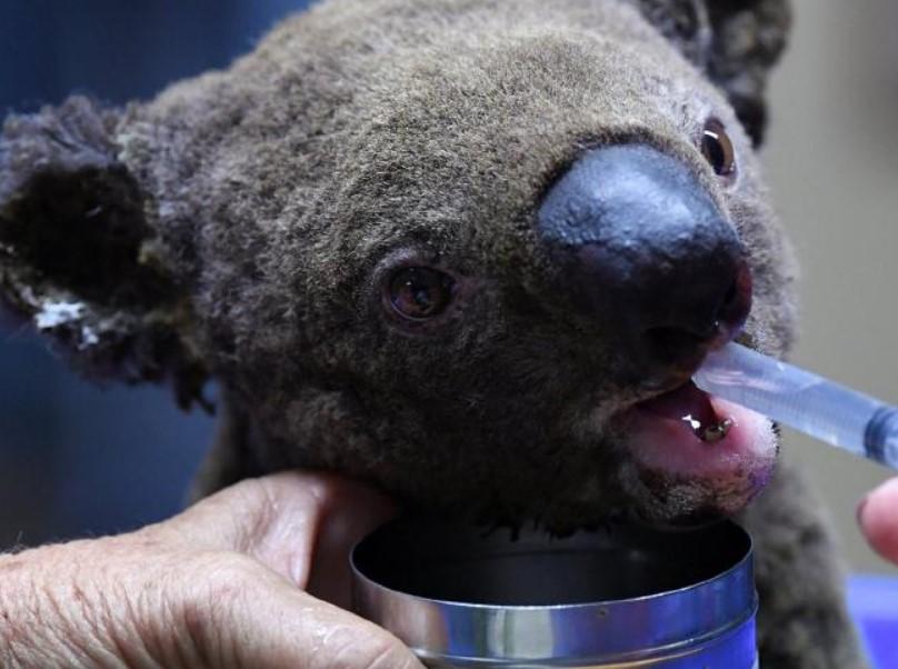 koala, australia bushfire