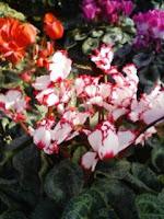 赤で縁取られた白い花