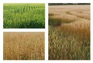Reconocer los diferentes campos de cereales