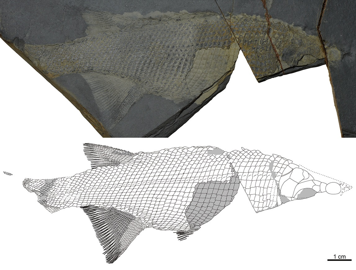 Hiascoactinus boryeongensis