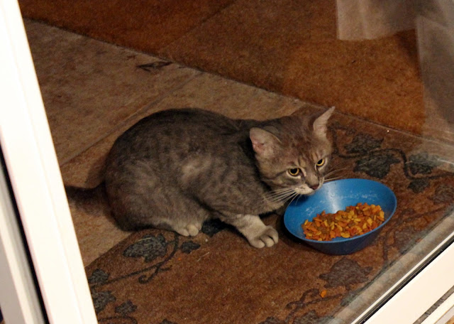 feral gray cat eating food