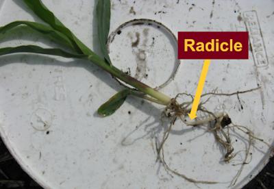 radicle corn plant