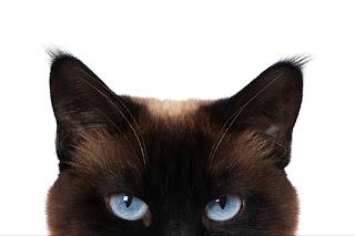 Gatos enxergam melhor no escuro! Saiba por quê?