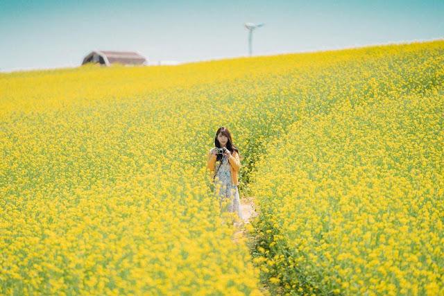 Cứ vào tháng 5, nhiều cánh đồng trên khắp xứ sở Kim Chi sẽ hóa thành một vùng đất vàng ươm. Những bông hoa cải ở đây sẽ đồng loạt nở rộ, khiến Hàn Quốc trở thành một điểm du lịch hấp dẫn vào thời điểm này.