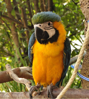 My California Macaws (Macaology): Baby B&G Macaw for sale