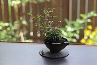 陶盤の上にのったツクシカラマツの咲いた山野草盆栽