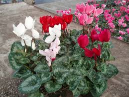 different%2Bcoloured%2Bcyclamen.jpg