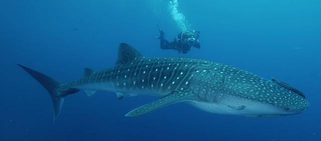Δύτες έκαναν ψαροτούφεκο και ήρθαν αντιμέτωποι με τεράστιο φαλαινοκαρχαρία (βίντεο)