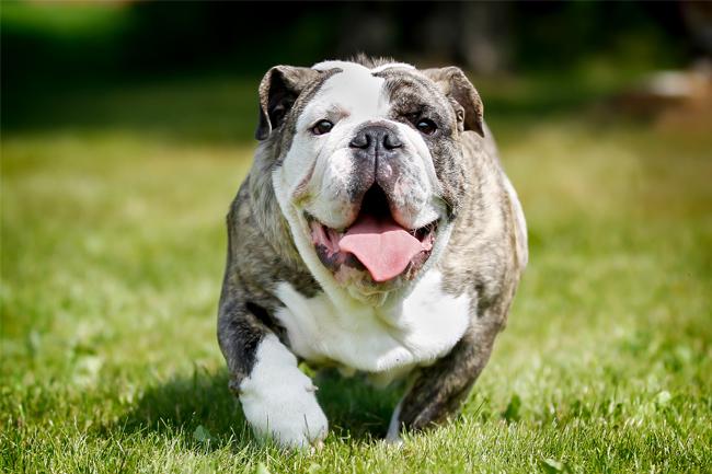 Otyłość u psów – czy Twój pies ma nadwagę?