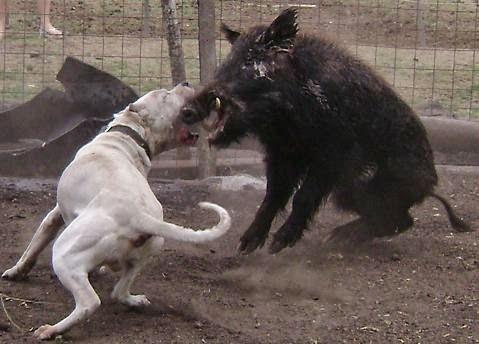أشرس و أخطر أنواع الكلاب في العالم