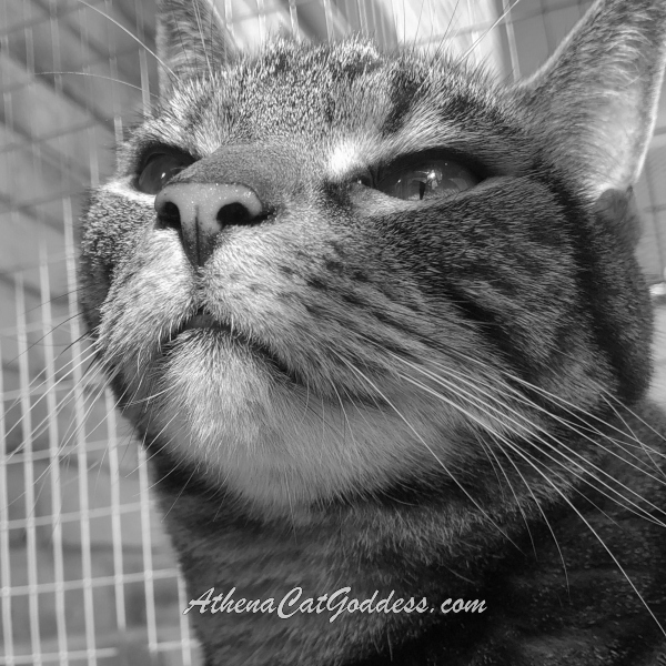 Tabby Cat in black and white close-up