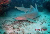 gambar ikan hiu karpet blind shark
