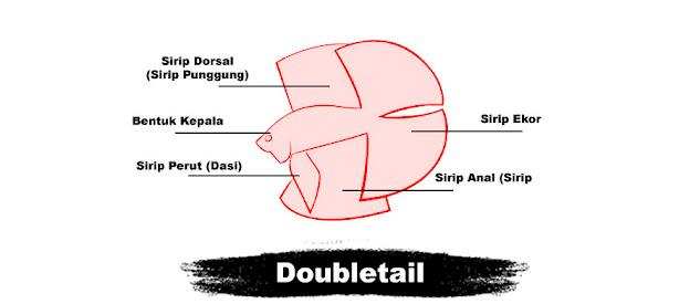 Kriteria Penilaian Kontes Ikan Cupang Doubletail