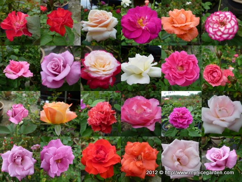 Hybrid Tea Rose Monica