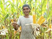 Kisah Kegigihan Pak Munar dalam Bertani Jagung