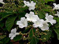 Flores_brancas_da_árvore_babosa_branca
