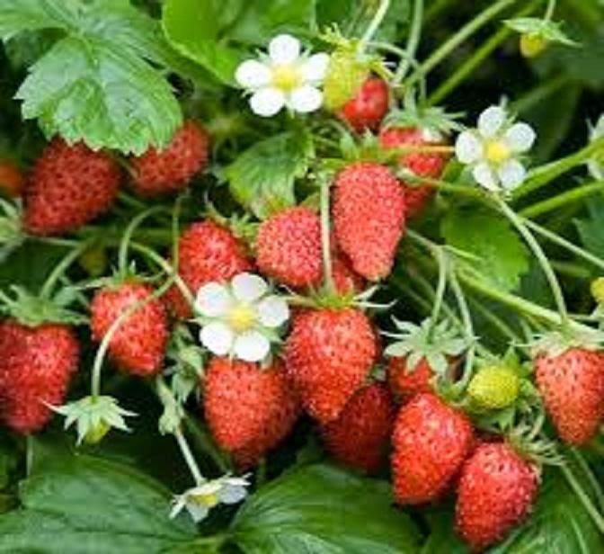 Menarik! Petua Dan Khasiat Buah Strawberry Yang Anda