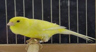 Burung Kenari - Solusi Penangkaran Burung Kenari -  Kode Ring Kenari Import Pada Negara Hongaria