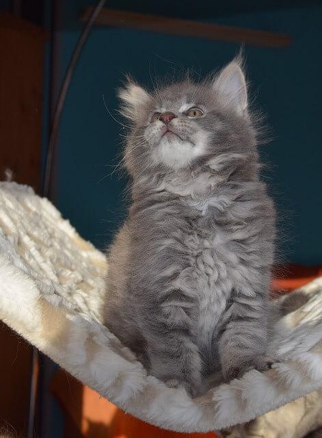 gatto persiano grigio