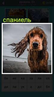 на картинке изображение собаки породы спаниель 23 уровень 667 слов