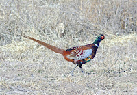 Ring-necked Phaesant, male – Bosque del Apache National Wildlife Refuge, NM – Jan. 2009 – photo by Alan Schmierer