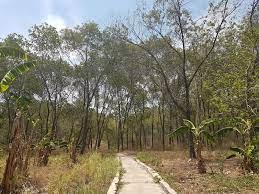 Tempat tumbuh Acacia crassicarpa