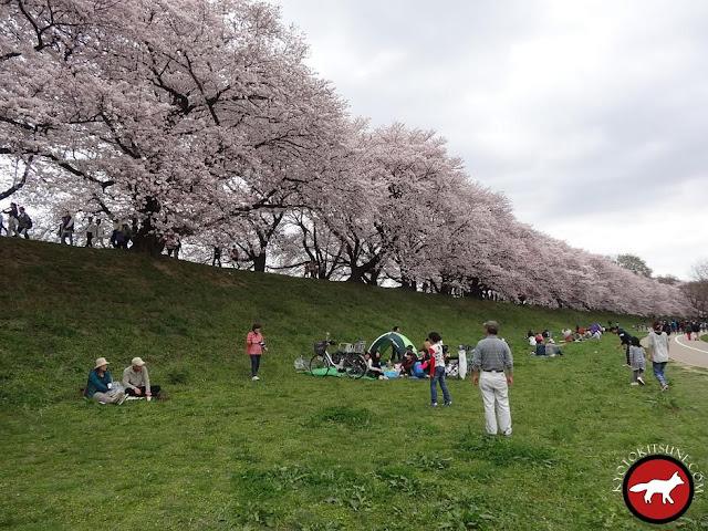 Allée de sakura au sud de Kyoto