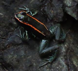 Phyllobates vittatus, Golfo Dulce Poison-dart Frog