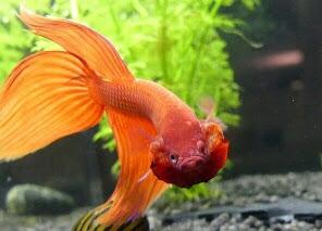Ikan cupang,ikan hias air tawar