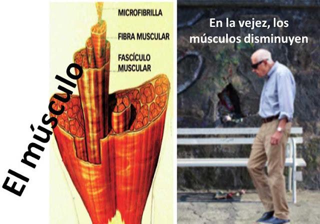 Músculos y vejez