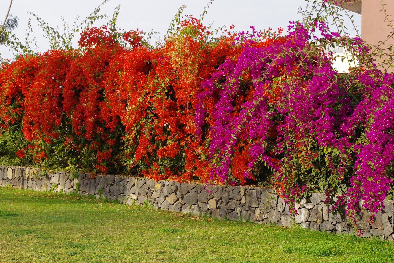 Timeless Environments: Bougainvillea: A Bold Stand Alone ...