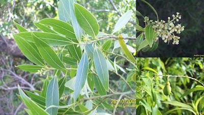 ároles argentinos Laurel criollo Ocotea acutifolia