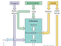 Keterkaitan katabolisme karbohidrat, protein, dan lemak