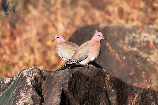 Laughing Dove at Vetal Tekdi