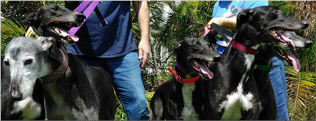 Five black hounds at Friends of Greyhounds