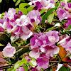 Tentang Bunga Alamanda Ungu