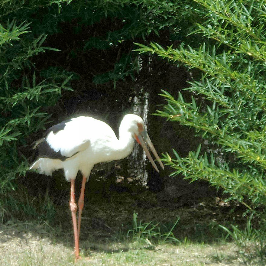 Pelicano em Seu Viveiro no Gramado Zoo
